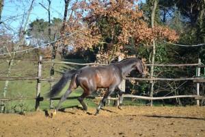 Lubello stallone tedesco di 11 anni attitudine salto ostacoli / dressage madre Polig Pilot , padre Luberon Landoresse